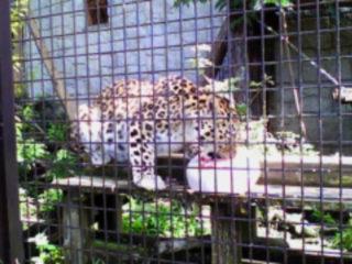 amur-leopard-foto-widzialne