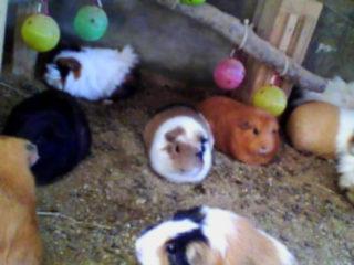 guinea-pigs-foto-widzialne