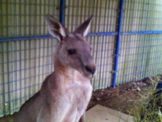 kangaroo-foto-widzialne