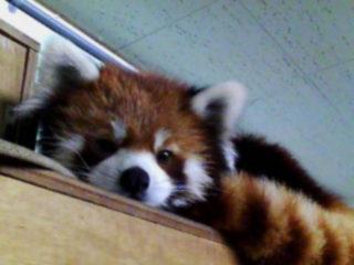 red-panda-foto-widzialne